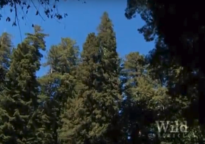 Measuring The Worlds Tallest Tree